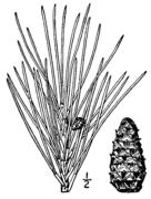 Pinus echinata drawing.png
