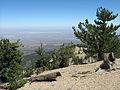 Pinus flexilis Baden-Powell summit.jpg