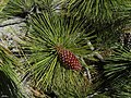 Pinus jeffreyi - Flickr - pellaea.jpg
