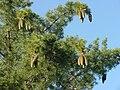 Pinus lambertiana foliagecones.jpg