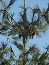 Pinus strobus cones.JPG