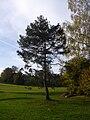 PinussylvestrisI.jpg