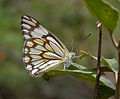 Pioneer or Caper White (Belenois aurota) in Hyderabad, AP W IMG 7378.jpg