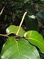 Piper colubrinum 06a.JPG