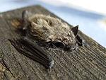 Pipistrellus kuhlii.jpg