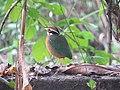 Pitta brachyura - Indian pitta - at Peravoor (5).jpg