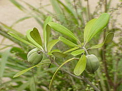 Pittosporum crassifolium0.jpg