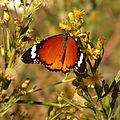 Plain Tiger (15933856342).jpg
