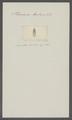 Planaria tentaculata - - Print - Iconographia Zoologica - Special Collections University of Amsterdam - UBAINV0274 105 09 0009.tif