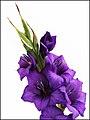 Plant-Gladiolus-Gladiool-03.jpg