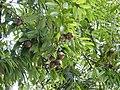 Plant Mesua ferrea fruits DSCN8774 01.jpg