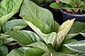 Plant of Thailand - 29.jpg