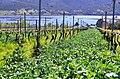 Plantation de fèves entre les rangées de vignes.jpg
