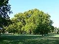 Platany Hlohovec - Plane-trees Hlohovec, Slovakia - panoramio (5).jpg