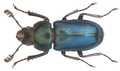 Platycerus caraboides (Linné, 1758) (9500974845).png