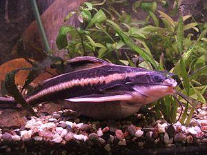 Doradidae - Platydoras armatulus
