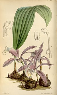 Pleione praecox (as Coelogyne wallichiana or Coelogyne wallichii) - Curtis' 76 (Ser. 3 no. 6) pl. 4496 (1850)