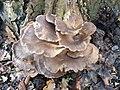Pleurotus ostreatus 110409149.jpg
