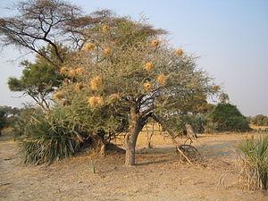 Wildlife of Botswana - Plocepasser mahali (white-browed sparrow-weaver) nests, within an acacia tree in the Okavango Delta