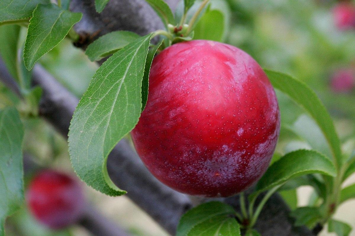 Prunus Domestica Wikipedia