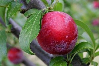 Prunus domestica - Prunus domestica plum Probably a round plum or egg plum cultivar