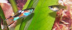 Live-bearing aquarium fish - Image: Poecilia reticulata 01