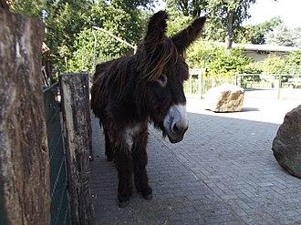 Poitou donkey - Poitou donkey on a museum farm Nordhorn.
