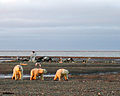 Polar bears on the Beaufort Sea coast.jpg