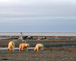 Inuvialuit Settlement Region - Polar bears on the Beaufort Sea coast