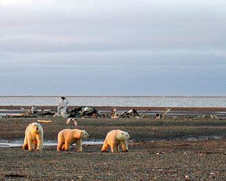 Inuvialuit Settlement Region - Polar bears on the Beaufort Sea coast