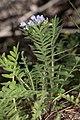 Polemonium pulcherrimum 4950.JPG