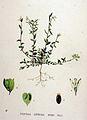 Polygala depressa — Flora Batava — Volume v19.jpg