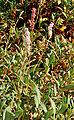 Polygonum affine - plant (aka).jpg