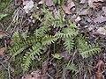 Polypodium vulgareWoblitz.jpg