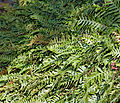 Polypodium vulgare (aka).jpg