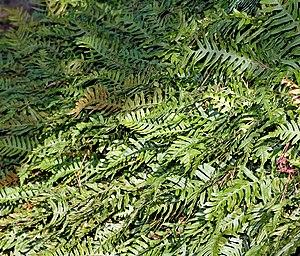 Polypodium - Common Polypody, Polypodium vulgare
