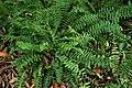 Polystichum acrostichoides kz5.jpg