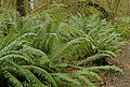 Polystichum munitum Cougar Mountain.jpg