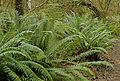 Polystichum munitum Cougar Mountain.jpg