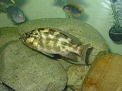 Nimbochromis polystigma - Wikipedia