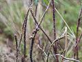 Pomatias elegans, Sète 01.jpg