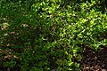 Poncirus trifoliatus, Conservatoire botanique national de Brest 02.jpg
