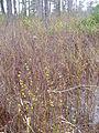 Pondberry FWS 2.jpg