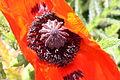Poppies, Downpatrick, June 2010 (01).JPG