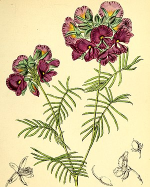 Agnes Catlow - An illustration by Walter Hood Fitch from Agnes Catlow's book Popular Greenhouse Botany (1857).