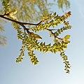 Populus alba fruits.JPG