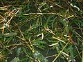 Potamogeton crispus1.jpg