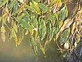 Potamogeton nodosus sl36.jpg