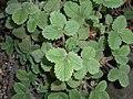 Potentilla micrantha 2017-09-26 4839.jpg
