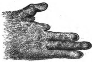 Potto - Potto hand (Mivart 1871)